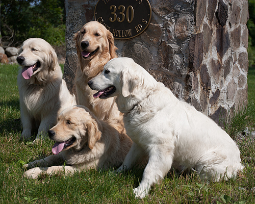 Adopt a golden retriever new england