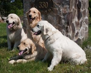 Golden Retriever Puppies For Sale In Rhode Island Crane Hollow Goldens