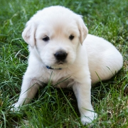 Golden Retriever Puppies for sale in New England