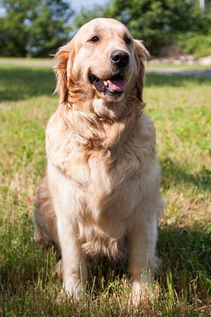Golden Retriever Breeder Stud Service Puppy Puppies Connecticut