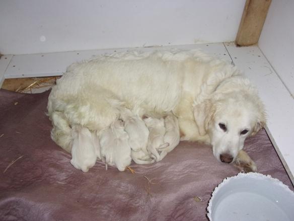 golden retriever puppies for sale | Crane Hollow Goldens